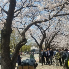 Cherry Blossoms along Yeouidong-ro