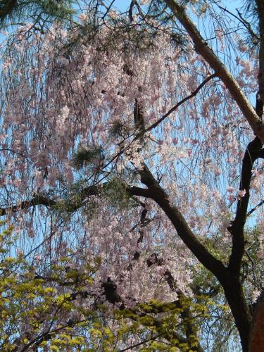 Cherry Blossoms at Changdeokgung